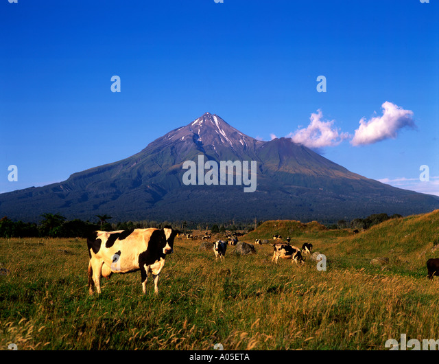 New Zealand Mt Taranaki Mouu Egmond National Park Cows - Stock Image