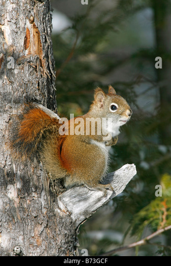 Red Squirrel - Vertical - Stock Image
