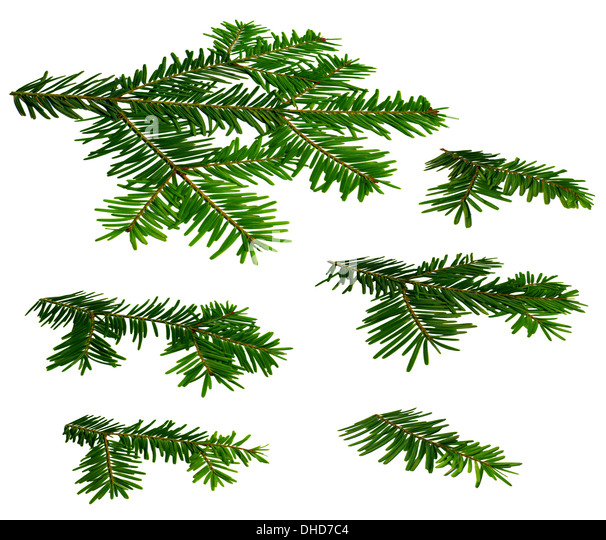 Fir twigs perspective view white background - Stock Image