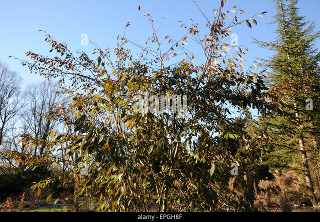 Waterers cotoneaster - Stock Image