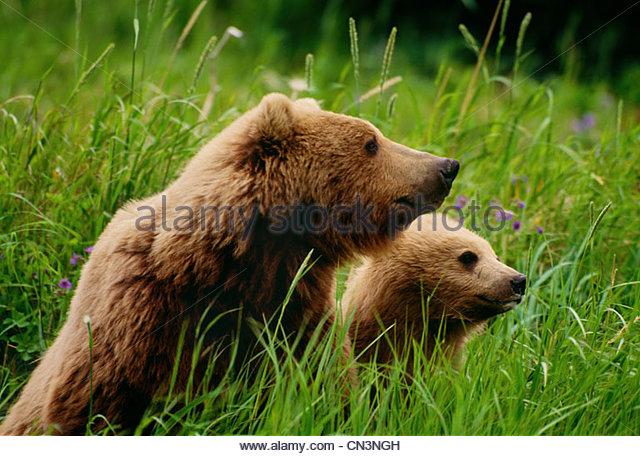 Brown bear and cub, McNeil River Bear Sanctuary, Alaska - Stock Image