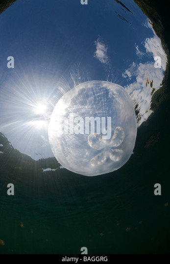 Moon Jellyfish with Backlight Aurita aurita Jellyfish Lake Micronesia Palau - Stock Image