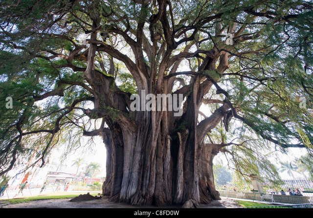El Tule tree, the worlds largest tree by circumference, Oaxaca state, Mexico - Stock Image