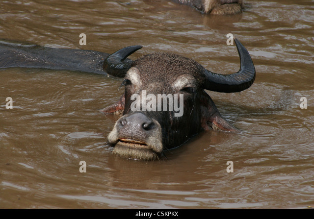 Sri Lanka, water buffalo in river, close-up - Stock Image
