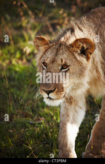Lion walking in grass - Stock Image