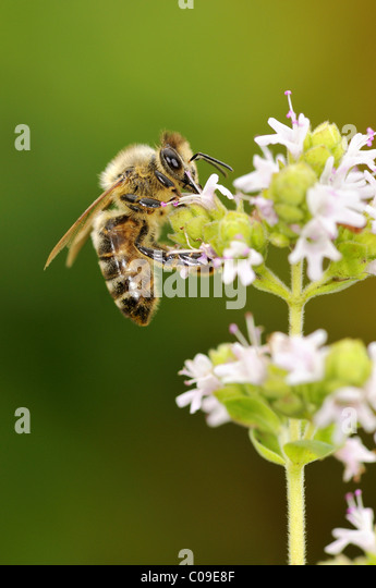 Apis Mellifera And Natural Selection
