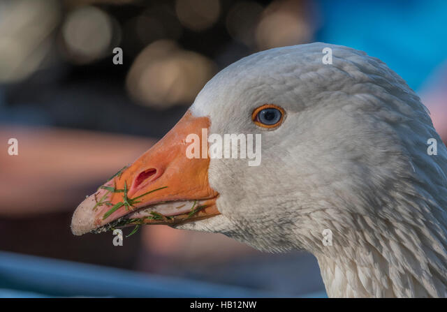 Head of a goose - 'goose that laid the golden egg' metaphor. - Stock Image