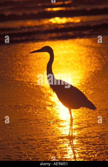 Birds Great Blue Heron on the Beach ocean florida sunrise sunset orange sky - Stock Image
