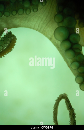 octopus,tentacle,suction cup - Stock-Bilder