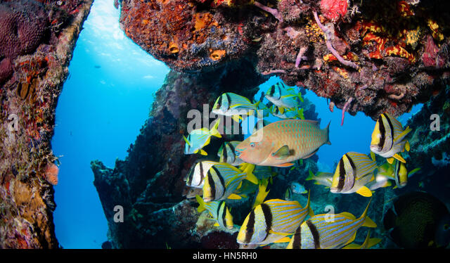 Rainbow parrotfish and porkfish on the wreck of the Benwood. - Stock-Bilder