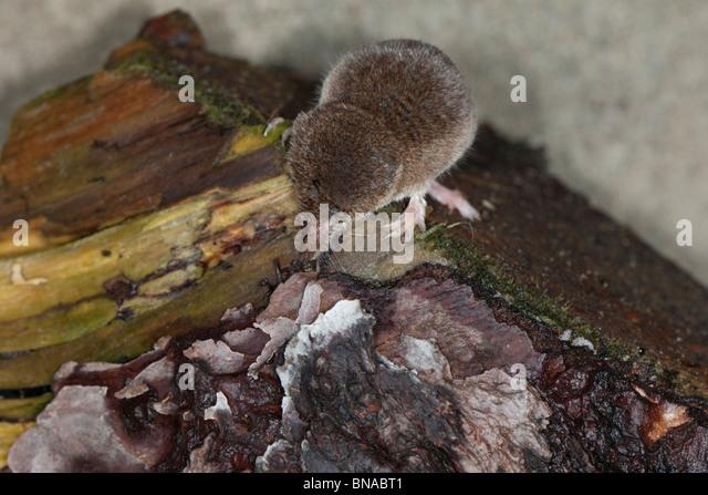 Common shrew, Sorex araneus, hunting. - Stock Image