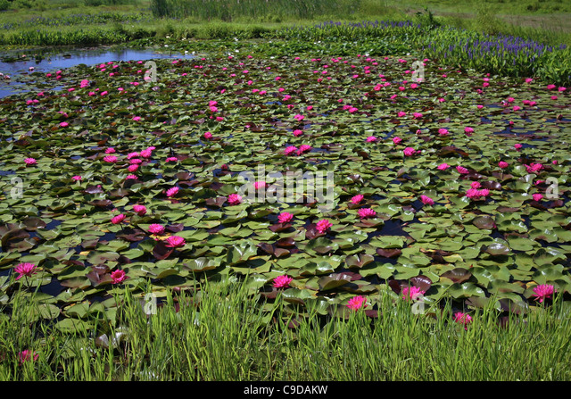 A pond of pink water lilies. - Stock Image