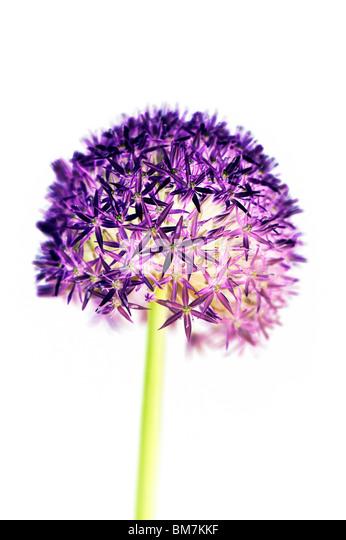 Allium 'globemaster' flower, digitally coloured on white background. - Stock Image
