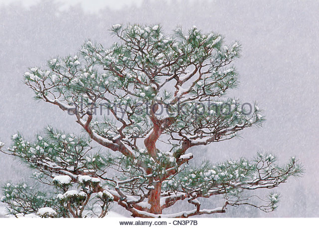 A pine tree covered in freshly fallen snow, Japan - Stock Image