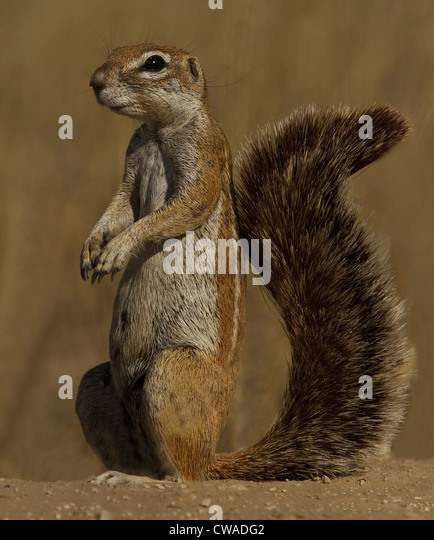 Ground Squirrel, Kgalagadi Transfrontier Park, Africa - Stock Image