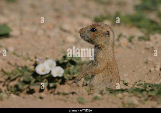 black tailed prairie dog colony stock photos amp black