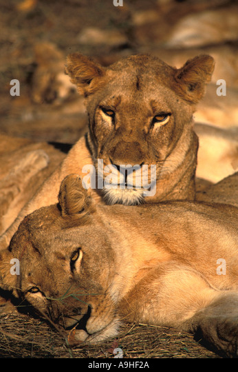 South Africa game viewing female lions resting one head atop the other - Stock Image