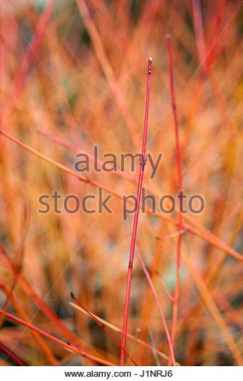 CORNUS SANGUINEA 'ANNYS WINTER ORANGE' - Stock Image