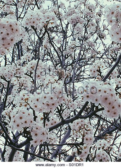 Pink Blossoms - Stock Image
