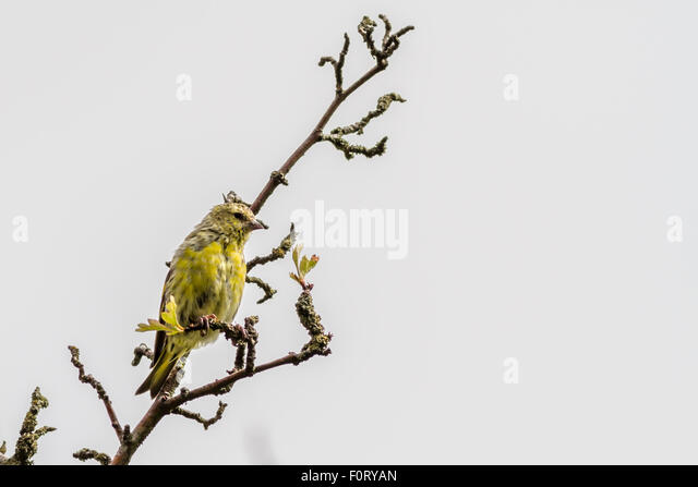 Juvenile male siskin looking a little scruffy as it develops its adult feathers, UK - Stock Image