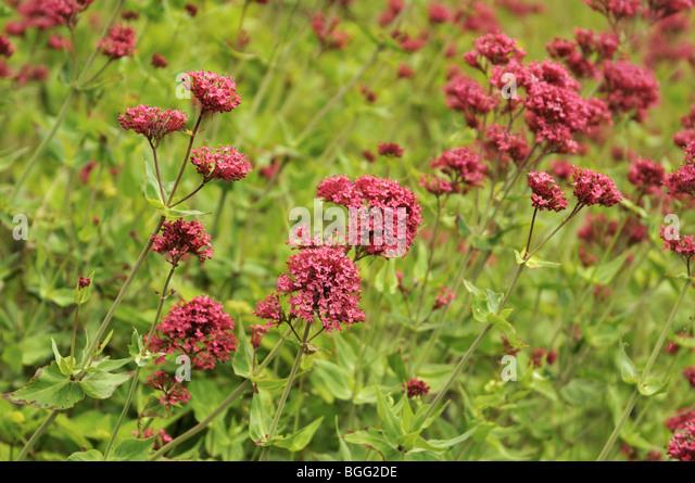 Centranthus ruber - Red Valerian - Stock Image