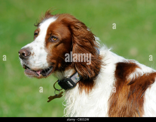 A red and white english setter - Stock Image