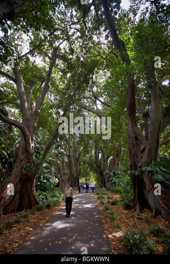 Fig tree garden stock photos fig tree garden stock for Garden trees adelaide