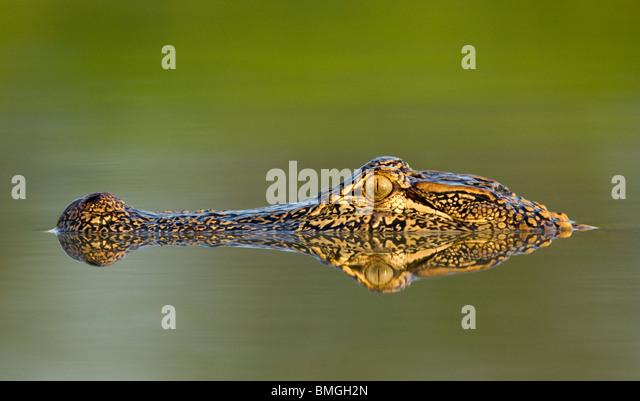 American Alligator - Los Novios Ranch - near Cotulla, Texas USA - Stock Image
