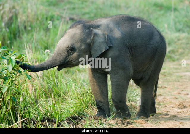 Baby Asian Elephant (Elephas maximus) Kaziranga National Park INDIA - Stock Image