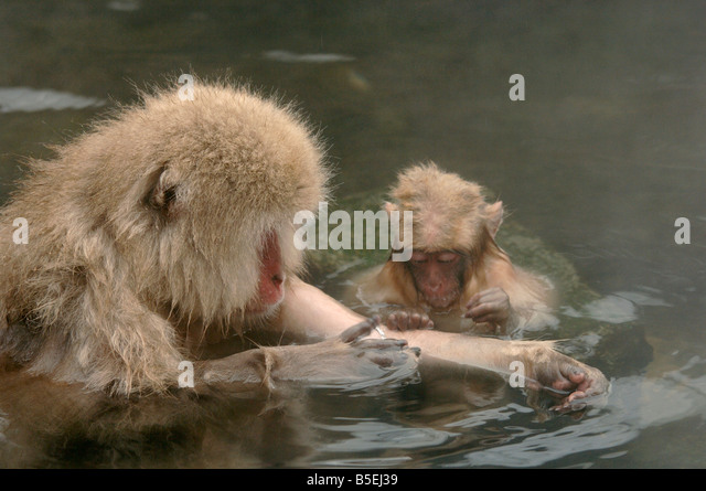 Young Japanese macaque or snow monkey Macaca fuscata grooming mother in a hot pool Jigokudani monkey park Japan - Stock Image
