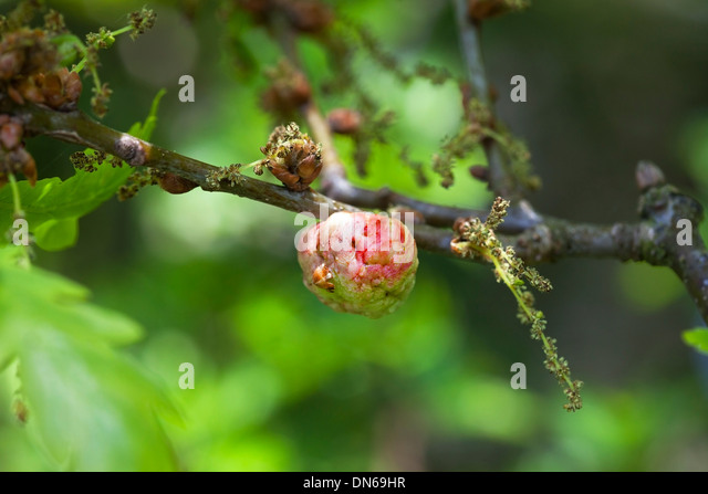 Oak Apple Gall Produced as a Reaction to Egg Laying by the Gall Wasp Biorhiza pallida UK - Stock Image