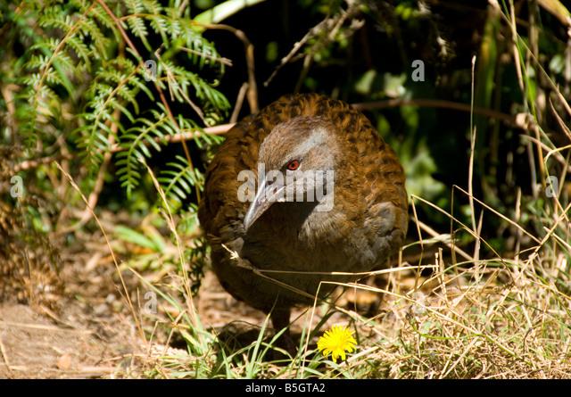 A weka (Gallirallus australis), Kapiti Island, New Zealand - Stock Image