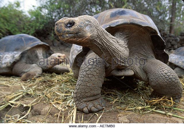 Ecuador Galapagos Islands Santa Cruz Island Charles Darwin Research Station Giant Tortoise - Stock Image