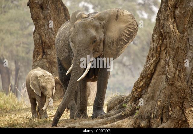 African Bush Elephant (Loxodonta Africana) mother and baby in wood, Mana Pools National Park, Zimbabwe - Stock Image