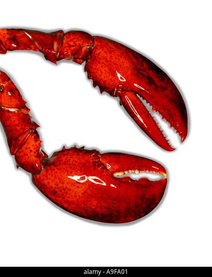 red lobster claws on white background - Stock Image