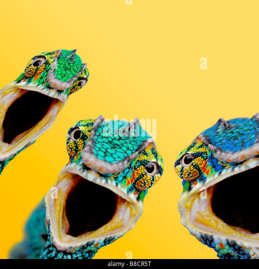 FL6516, Kitchin/Hurst; Three Surprised Chameleons, Yellow Background - Stock-Bilder