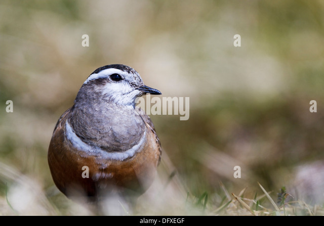 Male Dotterel resting on a mountain in the Cairngorms, Scotland - Stock-Bilder