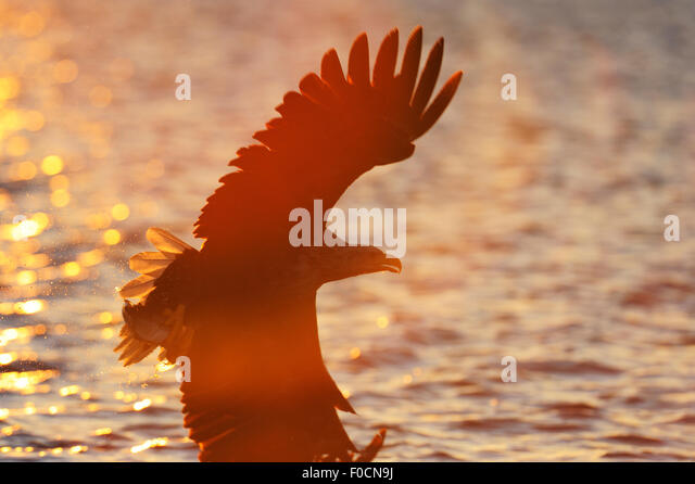 White tailed sea eagle (Haliaeetus albicilla) in flight over water, Flatanger, Norway. August 2008.WWE Mission: - Stock Image