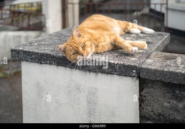 A ginger tom cat laying on a warm concrete slab late afternoon 24th August 2016 - Stock Image