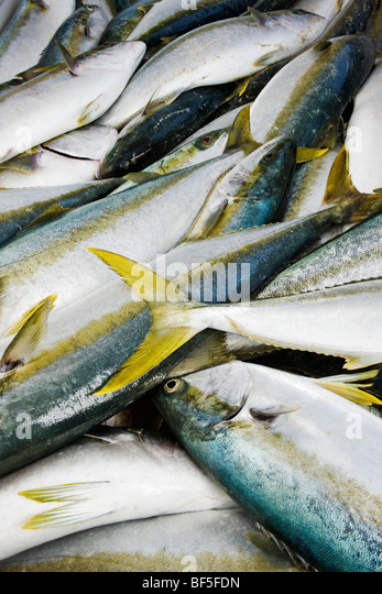 Close up of net full of freshly caught yellowtail amberjack fish Cape Town - Stock Image