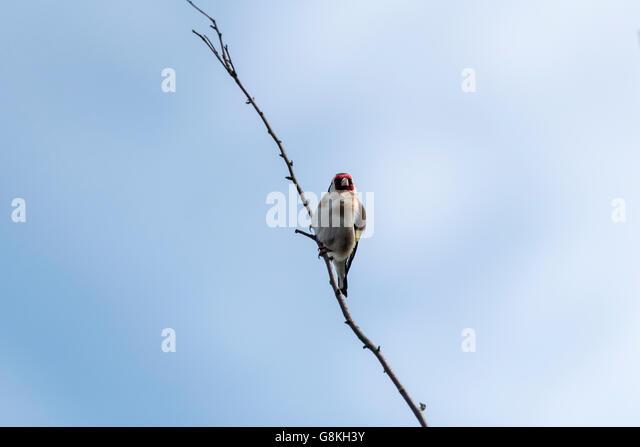 jilguero bird drinking water - photo #9