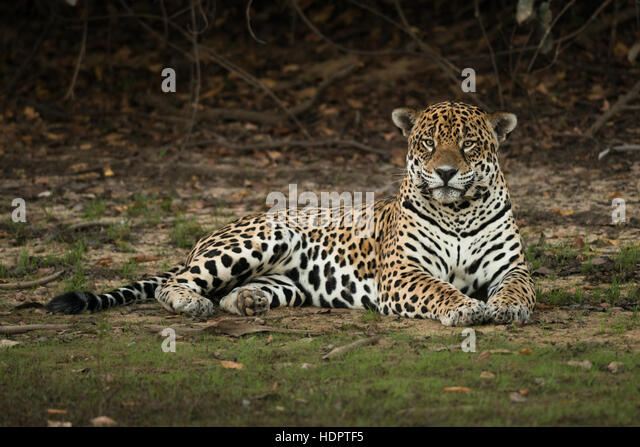 A very large male Jaguar resting on the shores of a lake in the Pantanal - Stock Image