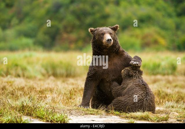 A mother coastal brown bear (grizzly bear) nurses a cub in Katmai National Park, Alaska, USA - Stock Image