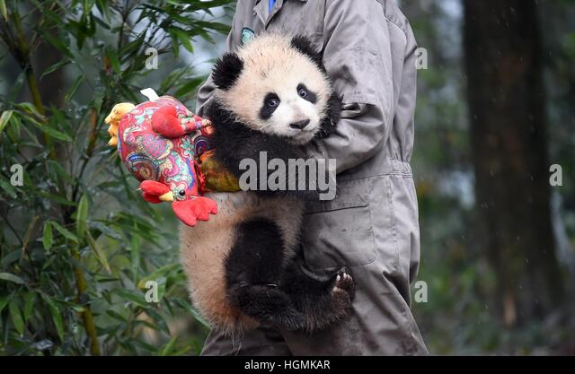 Ya'an. 11th Jan, 2017. Photo taken on Jan. 11, 2017 shows a staff member and a baby giant panda at the Ya'an - Stock Image