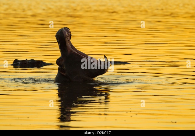 Silhouette of a hippopotamus yawning in the golden evening light - Stock-Bilder