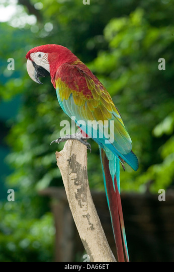 A brightly coloured Macaw bird with red, gold and blue markings perched on a tree branch in a natural setting. - Stock Image