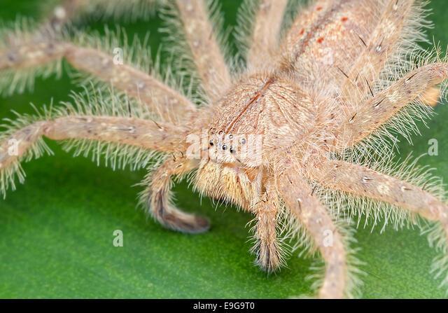 Huntsman spider (Heteropoda davidbowie) on a shrub in tropical rainforest of Singapore - Stock Image