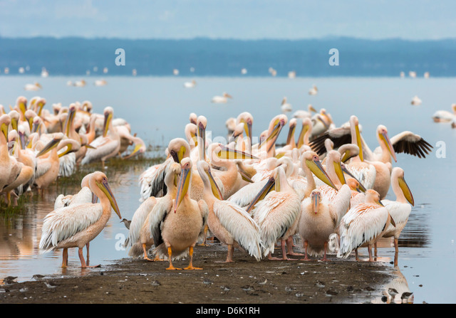 Great white pelicans (Pelecanus onocrotalus), Lake Nakuru National Park, Kenya, East Africa, Africa - Stock Image