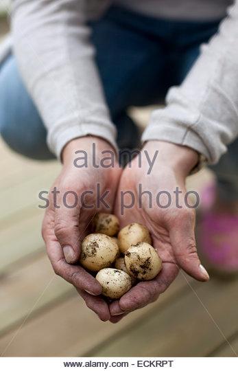 Cropped image of man holding freshly harvested potatoes at yard - Stock Image