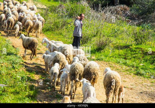 A sheepherder and his flock, near Tipaza, Algeria. - Stock Image